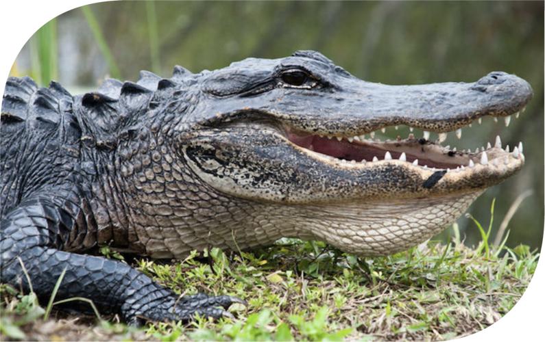 Alligator Branding